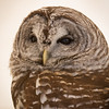 Captive Barred Owl_9933