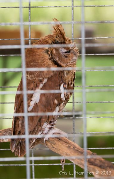 Captive E  Screech Owl Red_9970