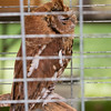 Captive E  Screech Owl Red_9970