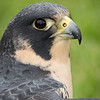 Captive Peregrine Falcon_9875