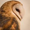 Captive Barn Owl_9922