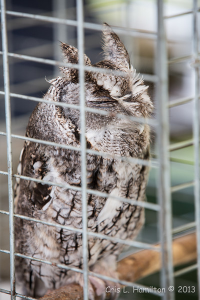 Captive E  Screech Owl Gray_9975