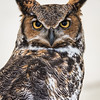 Captive Great Horned Owl_9945