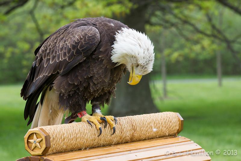 Captive Bald Eagle_1456