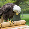 Captive Bald Eagle_1456