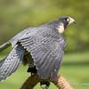 Captive Peregrine Falcon_9990