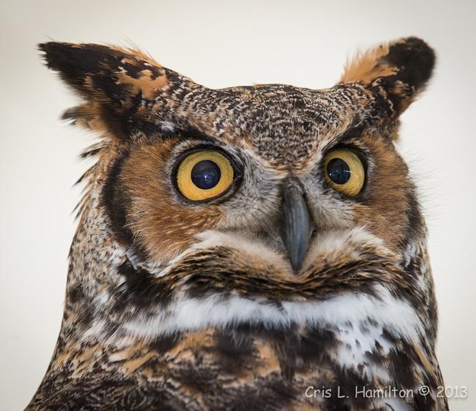 Captive Great Horned Owl_9948