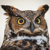 Captive Great Horned Owl_9948