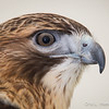 Captive Red-tailed Hawk_9966