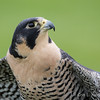 Captive Peregrine Falcon_9829
