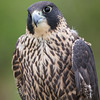 Captive Juv  Peregrine Falcon_9903