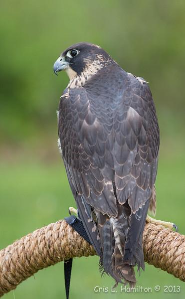 Captive Juv  Peregrine Falcon_9888