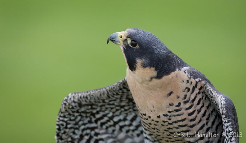 Captive Peregrine Falcon_9830