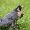 Captive Peregrine Falcon_9821