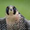 Captive Peregrine Falcon_9825