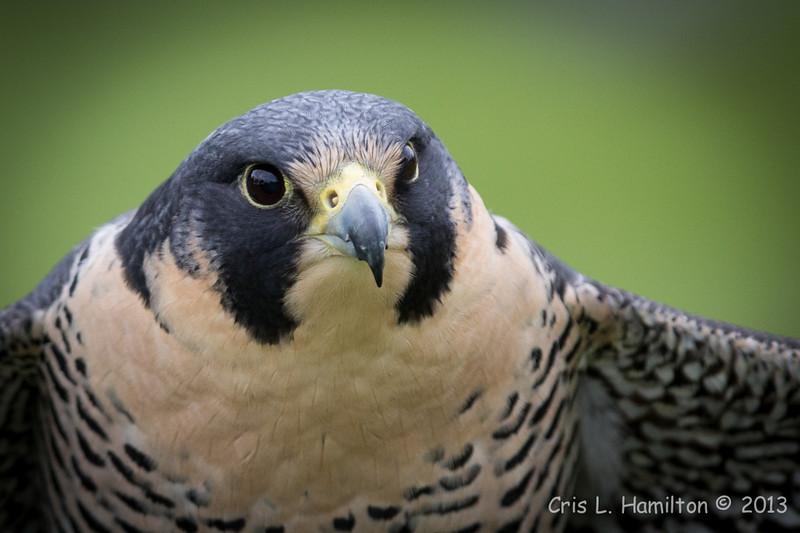 Captive Peregrine Falcon_9839