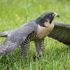 Captive Peregrine Falcon_9818