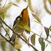 Blackburnian Warbler-9808