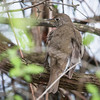 Gray-cheeked Thrush_8956