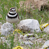 Killdeer_9373