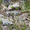 Killdeer Eggs_9351