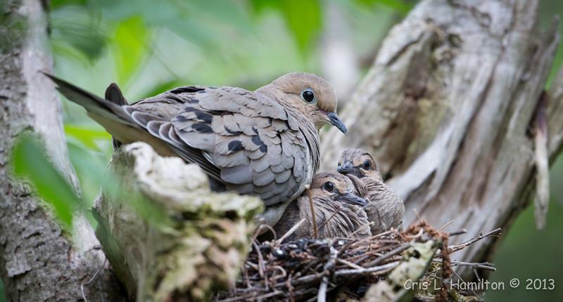 Mourning Doves (nest)_9712