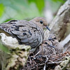 Mourning Doves (nest)_9712