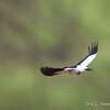 Red-headed Woodpecker Flight_0565