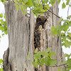 Great Horned Owl chick_8924