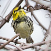 Black-throated Green Warbler_9608
