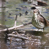 Northern Waterthrush_1131