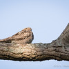 Common Nighthawk_9040