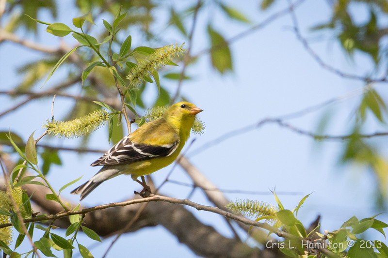 American Goldfinch_9190