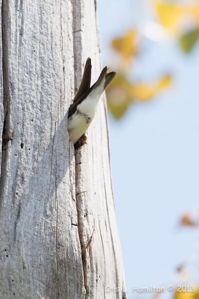 Tree Swallow_9299