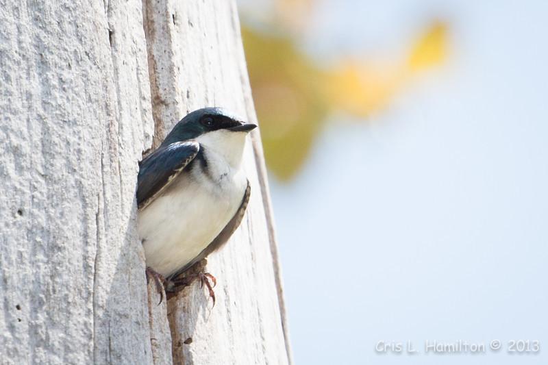 Tree Swallow_9312