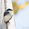Tree Swallow_9312