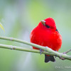Scarlet Tanager-0391
