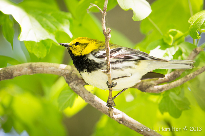 Black-throated Green Warbler_1336