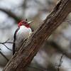 Red-headed Woodpecker_0461