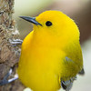 Prothonotary Warbler_1240