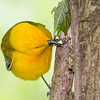 Prothonotary Warbler_1242