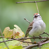 Chipping Sparrow_0675