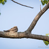 Common Nighthawk_9037