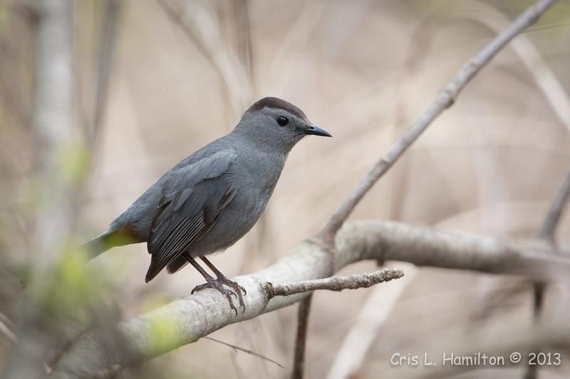 Gray Catbird_9518