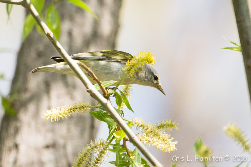 Tennessee Warbler_9222