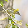 Tennessee Warbler_9222