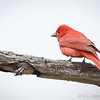 Summer Tanager_0518