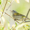 Tennessee Warbler_9247