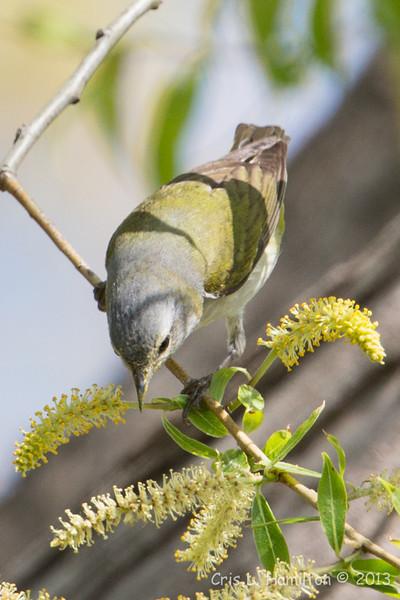 Tennessee Warbler_9237