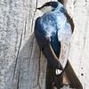 Tree Swallow_9323